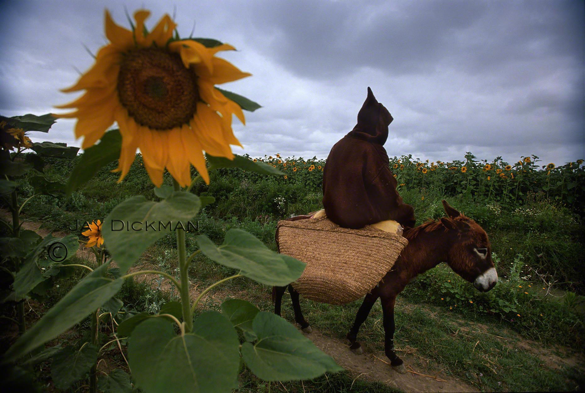 102-Morocco sunflower & mule_wm.jpg