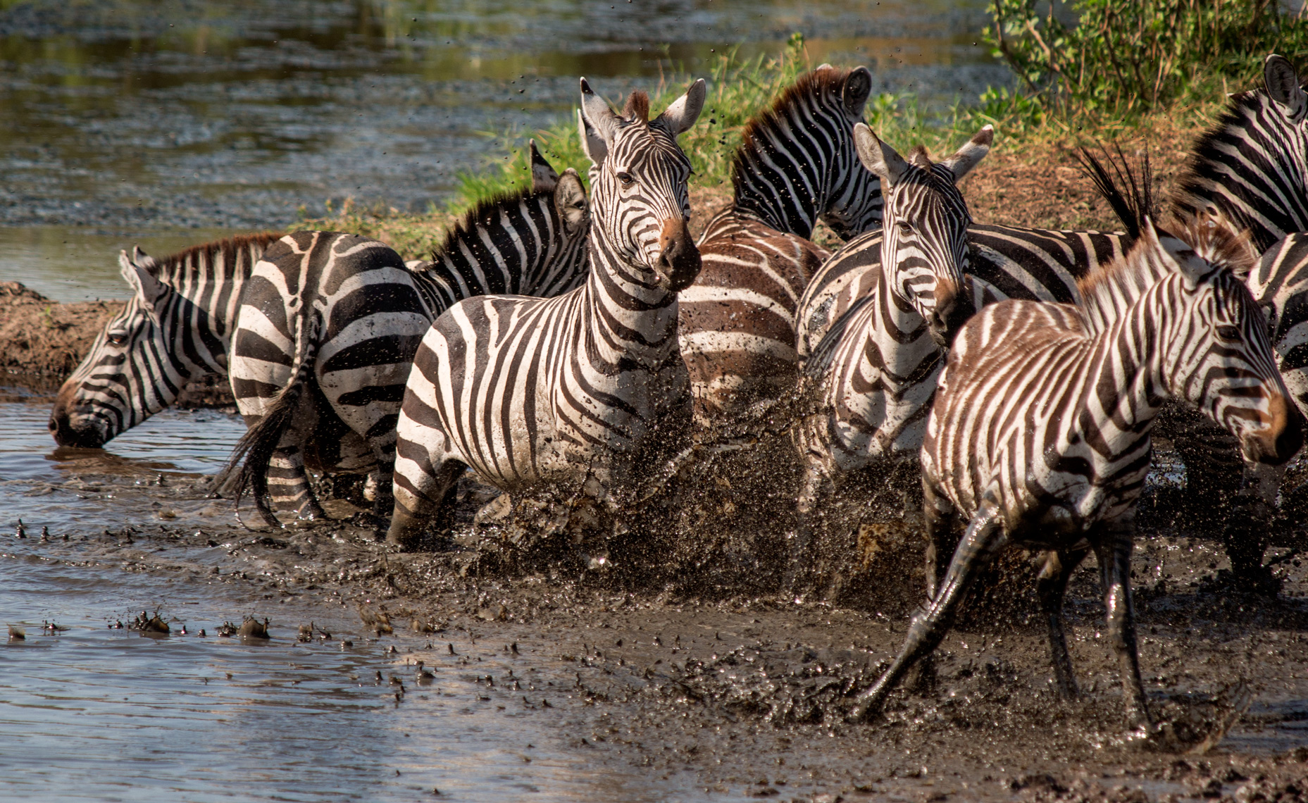 Zebras fleeing